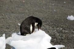 Adelie-Pinguin, der am Eisblock sitzt und pickt Lizenzfreie Stockbilder