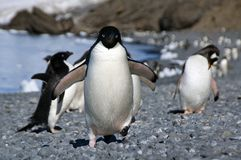 Adelie-Pinguin, der entlang die Strandflipper angehoben läuft Lizenzfreies Stockbild