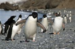 Adelie-Pinguin, der entlang Strand läuft Lizenzfreies Stockfoto