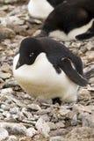 Adelie-Pinguin, der Küken ausbrütet Stockfotografie