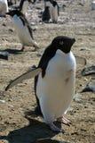 Adelie-Pinguin, der mit den Flügeln angehoben steht Lizenzfreie Stockbilder