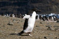 Adelie-Pinguin, der mit Kolonie im Hintergrund läuft Lizenzfreie Stockbilder