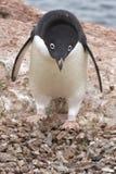 Adelie-Pinguin, der nahe dem Nest 1 steht Stockbilder