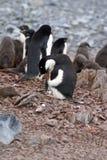 Adelie-Pinguin, der sein Kinn in der Antarktis verkratzt Stockbilder