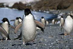 Adelie-Pinguin, der unten entlang Strandflipper läuft Lizenzfreie Stockfotos
