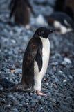 Adelie-Pinguin im Sonnenschein, der Kamera betrachtet Lizenzfreies Stockfoto