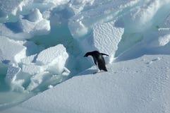 Adelie-Pinguin möchte springen Stockbild