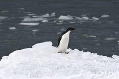 Adelie-Pinguin (Pygoscelis adeliae) Lizenzfreie Stockbilder