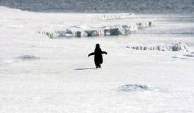 Adelie-Pinguin (Pygoscelis adeliae) Lizenzfreie Stockfotos