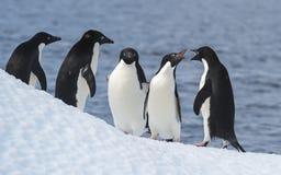 Adelie-Pinguin springen Stockbild