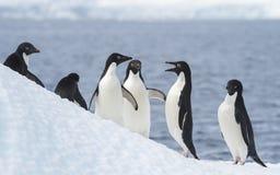 Adelie-Pinguin springen Lizenzfreie Stockbilder