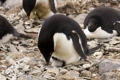 Adelie-Pinguin und Hatchingling Stockfotos