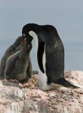 Adelie-Pinguin und Küken Stockfotografie