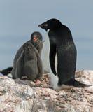 Adelie-Pinguin und Küken 2 Lizenzfreies Stockfoto