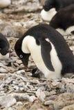 Adelie-Pinguin und -küken Lizenzfreie Stockfotografie