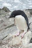 Adelie-Pinguin vor Ihnen Sprung. Stockbilder