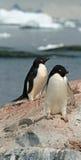 Adelie-Pinguine Lizenzfreies Stockfoto