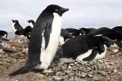 Adelie-Pinguine Stockfotografie
