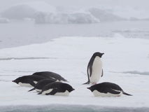 Adelie-Pinguine in Antarktik Stockbilder