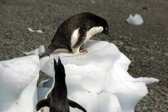 Adelie-Pinguine auf auf den Strand gesetztem Eisblock Lizenzfreie Stockbilder
