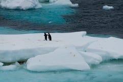Adelie-Pinguine auf einem Eisregal im Weddell-Meer Stockbilder