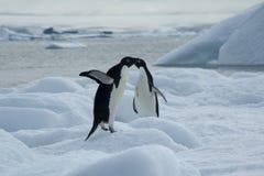 Adelie-Pinguine auf Eis mit Bucht im Hintergrund Lizenzfreie Stockfotografie