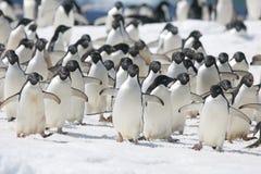 Adelie-Pinguine auf Eisberg vor antarktischer Küste Stockfotos