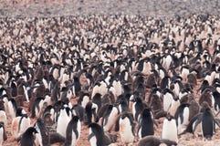 Adelie-Pinguine auf Paulet-Insel Lizenzfreie Stockfotos