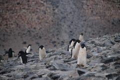 Adelie-Pinguine auf Paulet-Insel Stockbilder