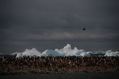 Adelie-Pinguine auf Paulet-Insel Stockfotos