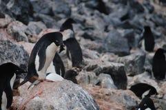 Adelie-Pinguine auf Paulet-Insel Stockbild