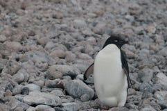 Adelie-Pinguine auf Paulet-Insel Stockfoto