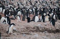 Adelie-Pinguine auf Paulet-Insel Lizenzfreie Stockfotografie