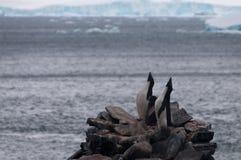 Adelie-Pinguine auf Paulet-Insel Stockfotografie