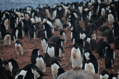 Adelie-Pinguine auf Paulet-Insel Lizenzfreies Stockbild