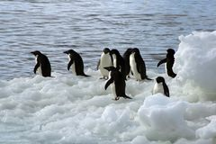Adelie-Pinguine auf Treibeis Stockbilder