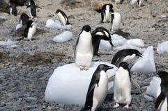 Adelie-Pinguine auf und um Eisblöcken auf Strand Lizenzfreies Stockfoto
