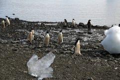 Adelie-Pinguine, die auf Strand unter Eisberg laufen Stockfoto