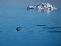 Adelie-Pinguine, die in der Antarktis schwimmen und tauchen Stockfoto