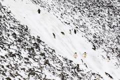Adelie-Pinguine, die eine steile Steigung klettern Lizenzfreies Stockbild