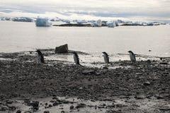 Adelie-Pinguine, die entlang Strand gehen Lizenzfreies Stockfoto