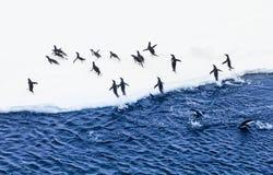 Adelie-Pinguine, die Wasser herausnehmen Lizenzfreie Stockfotografie