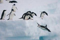 Adelie-Pinguine, die weg vom Eisberg springen Lizenzfreies Stockfoto