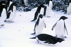 Adelie-Pinguine, gehend und schieben zur Küstenlinie Lizenzfreie Stockfotos