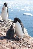 Adelie-Pinguine im Familiennest. Lizenzfreie Stockfotos