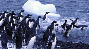 Adelie-Pinguine, springend in den Ozean Lizenzfreie Stockbilder