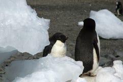 Adelie-Pinguine unter Eisblöcken auf Strand Lizenzfreies Stockfoto