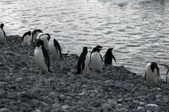 Adelie-Pinguine am Wasserrand Stockfotos