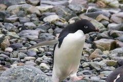 Adelie-Pinguingehen Stockfoto