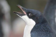Adelie-Pinguinjunge, Antarctia Lizenzfreies Stockbild